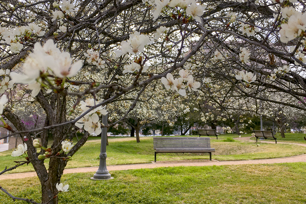 Photo of dogwood trees in bloom